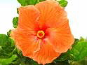 HAWAII STATE FLOWER HIBISCUS
